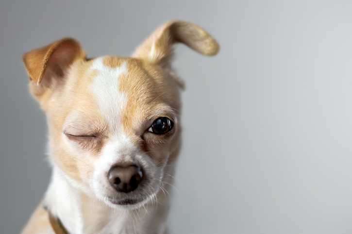 why do dogs wink