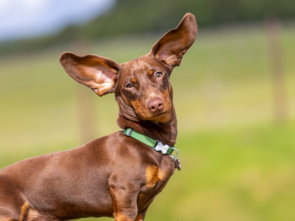 Why Are My Dog's Ears Cold?